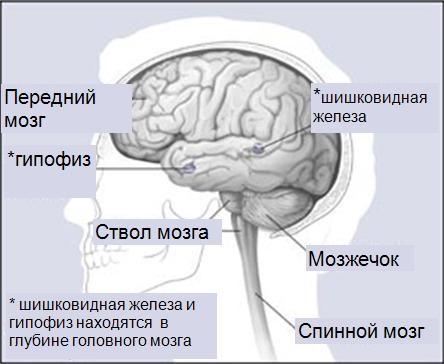 части-головного-мозга