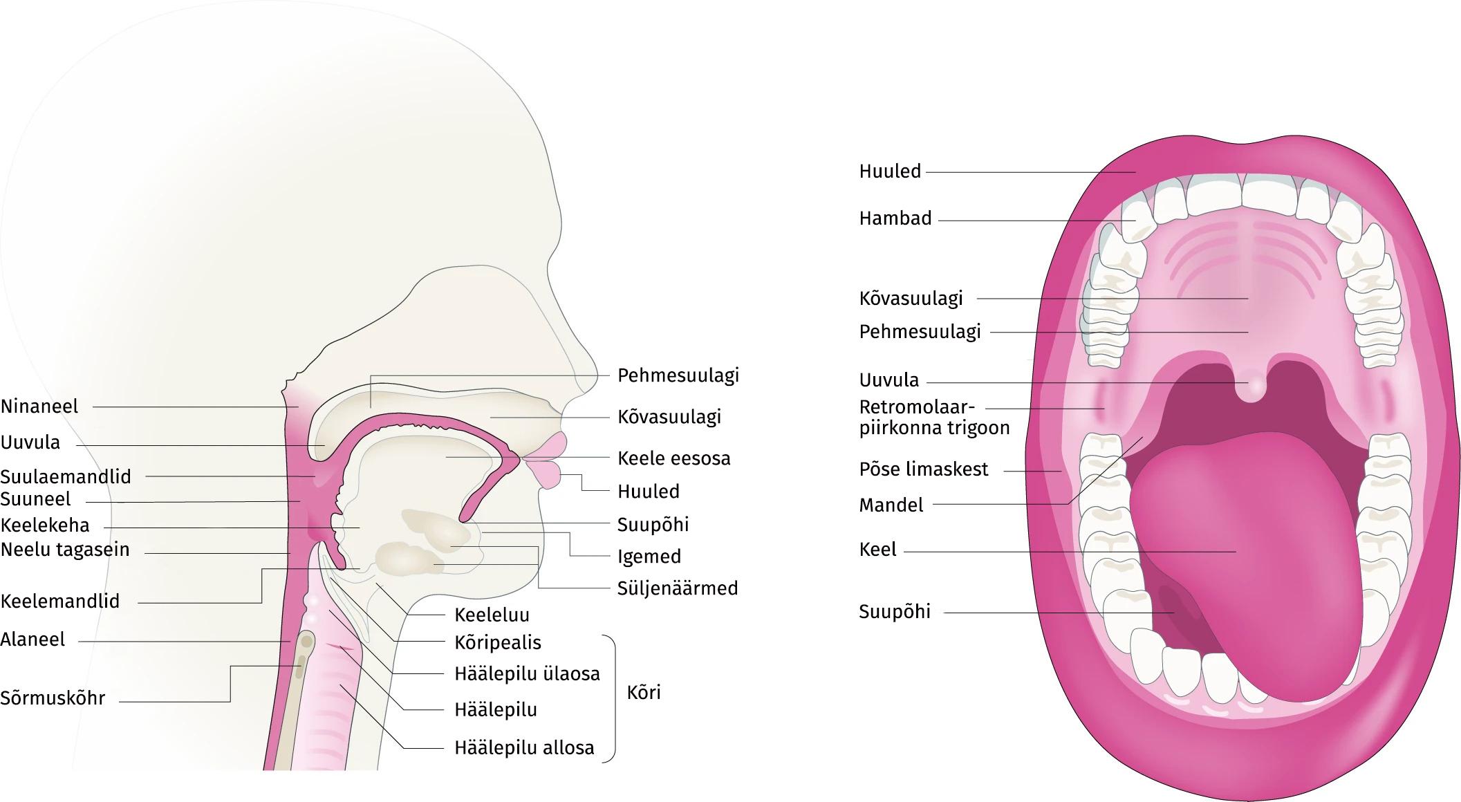 Pea-ja kaela anatoomia, regioonid