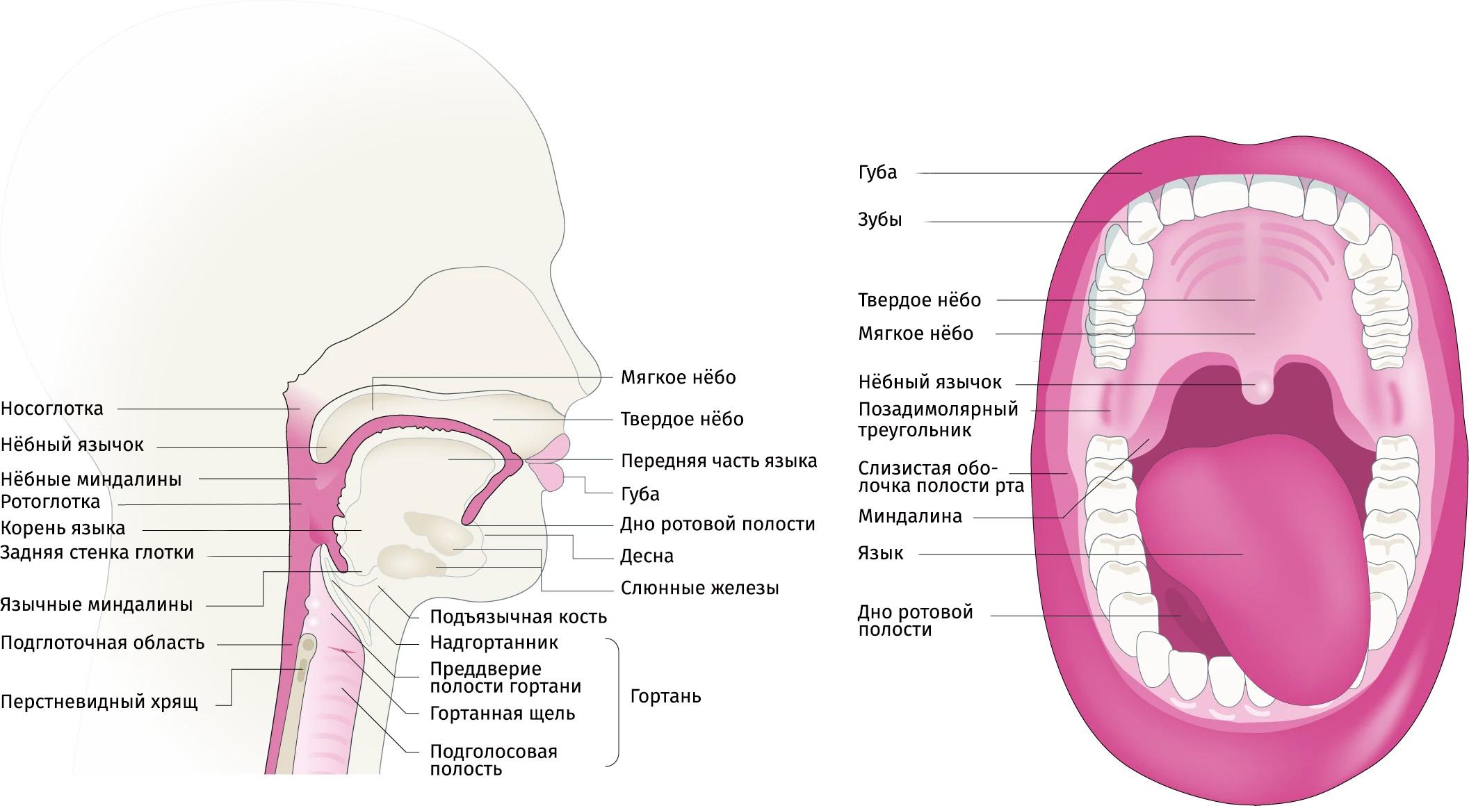 Анатомия головы и шеи, регионы